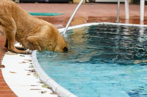 How to stop dog from drinking pool water?