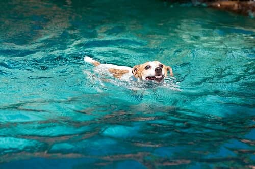 Are Dogs Natural Pool Swimmers