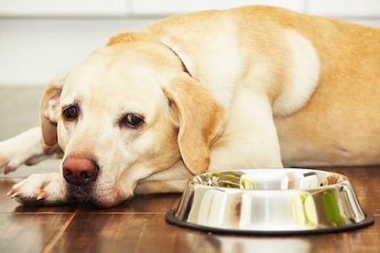 dog wont eat just lays around