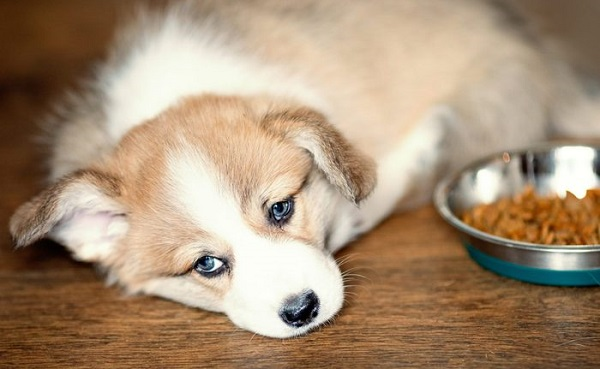 what to do if your dog isnt eating